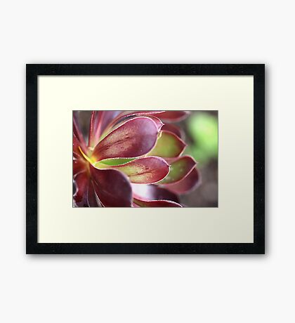 Purple Aeonium Framed Print