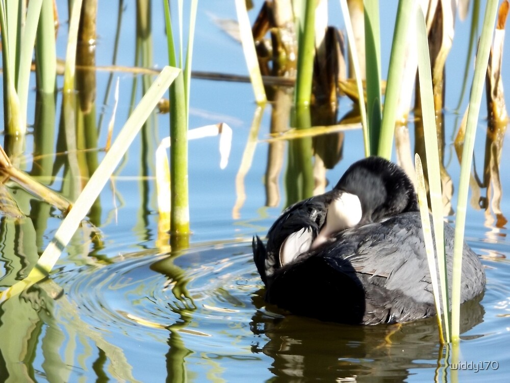 Little coot grooming ! by widdy170