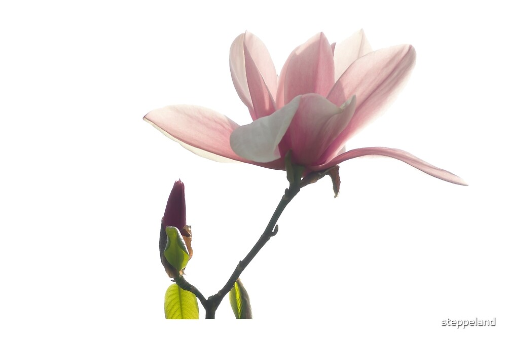 Pink magnolia unfolding by steppeland