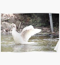 White Female Duck Poster