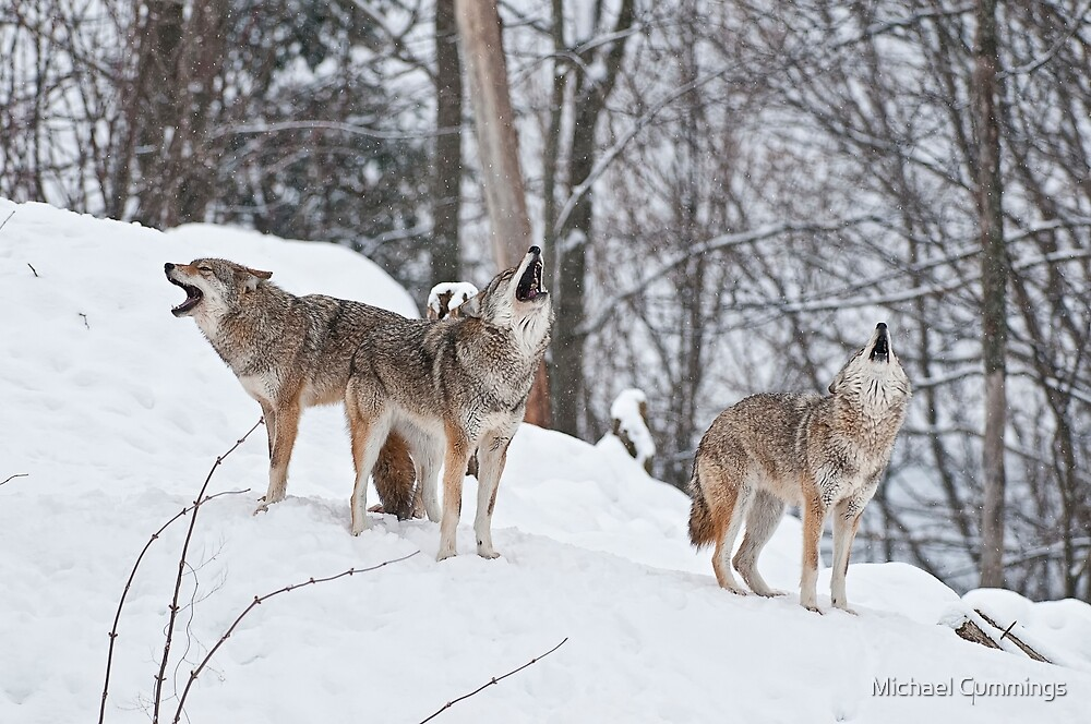 Howling Coyotes by Michael Cummings