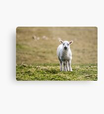 Donegal Lamb Metal Print