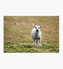 Donegal Lamb Photographic Print