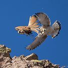 Kestrels fighting at Long Reef by Doug Cliff