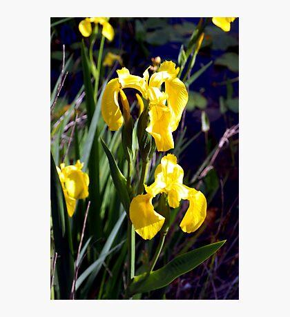 Wild yellow iris Photographic Print