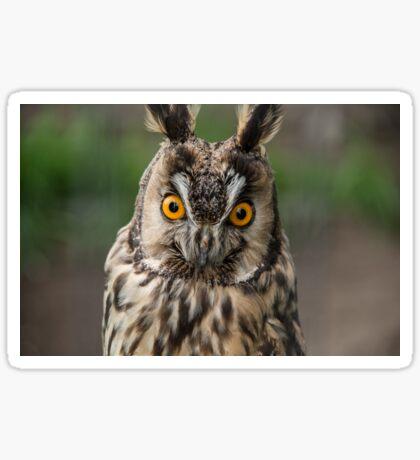 Long-Eared Owl Sticker