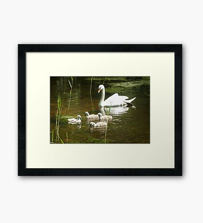 Mother swan and her little ones Framed Print