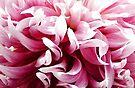 Pink Dancing Dahlia by Beth Thompson