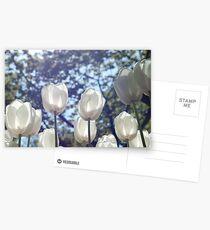 White tulips Postcards