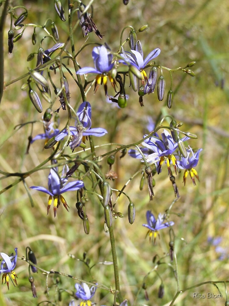 Dainty Blue flax lily. Conservation Park walk, Clare Valley. by Rita Blom