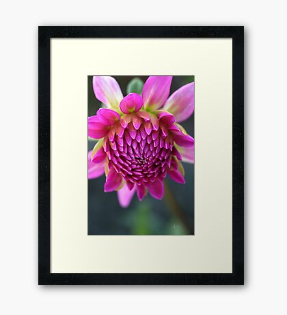 Dahlias Face Framed Print