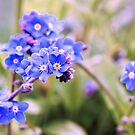 Forget-me-not's by JEZ22