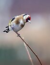 Goldfinch by Jane-in-Colour