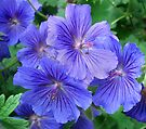 Meadow Cranesbill by Jane-in-Colour