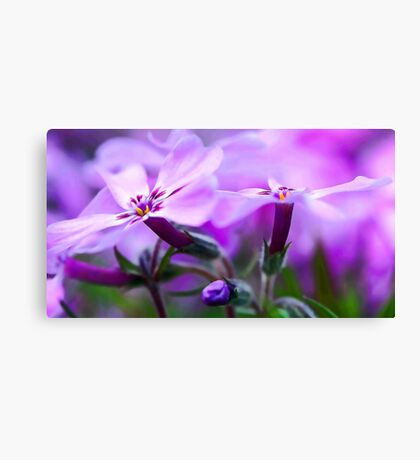 Beautiful Pink Spring Phlox Canvas Print