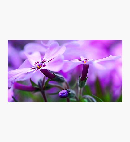 Beautiful Pink Spring Phlox Photographic Print