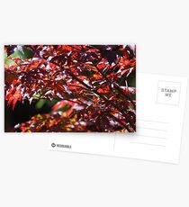 Maple Leaves Postcards
