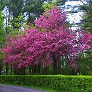 Lovely Crabapple Tree by MaryinMaine