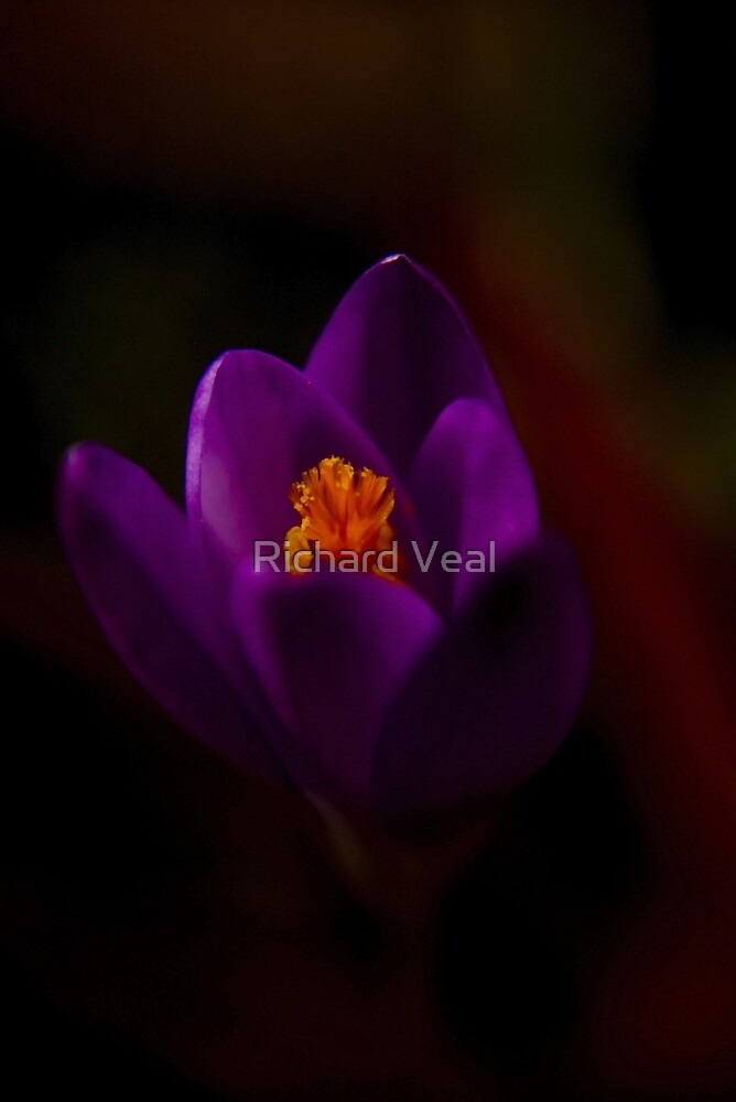 Purple Crocus by kcphotography