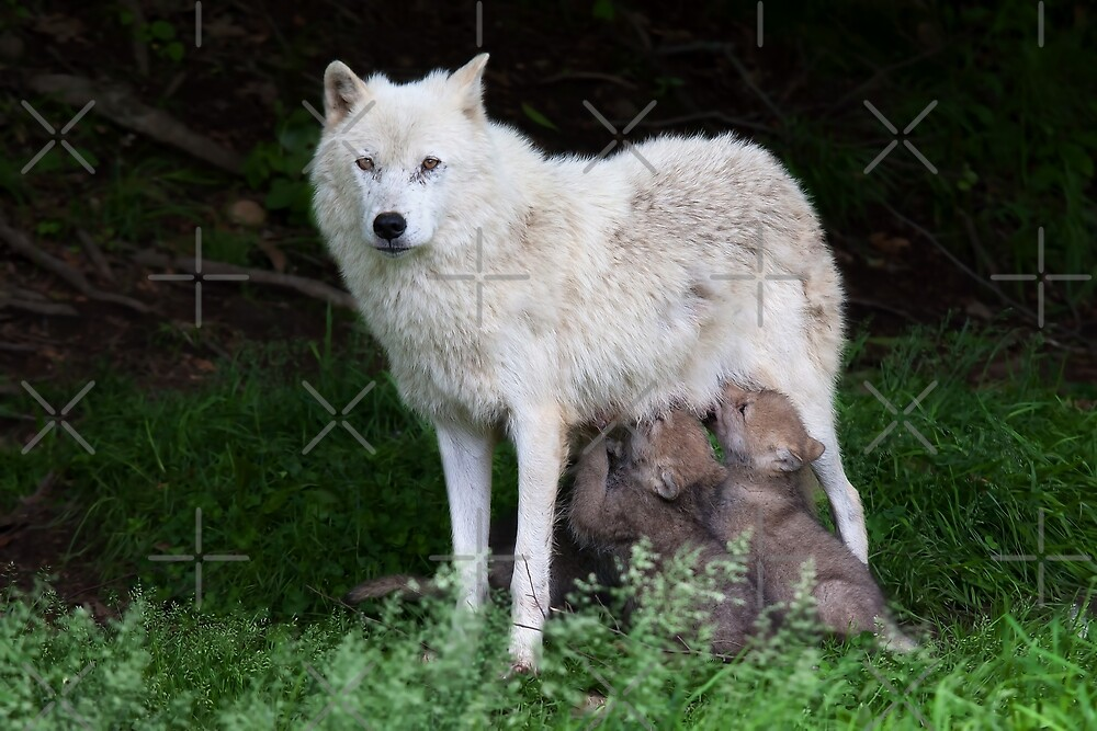 Remus and Romulus - Arctic Wolf by Jim Cumming