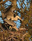 Mating Grey Herons by Neil Bygrave (NATURELENS)