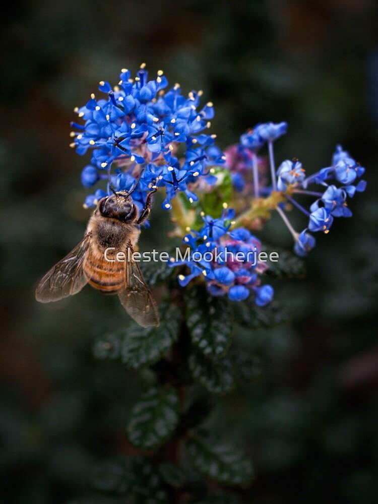 Biene auf Ceanothus von celestem