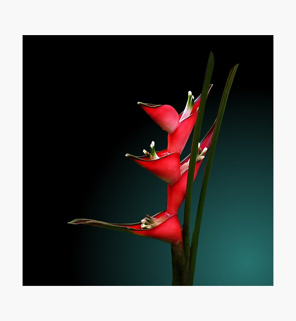 Studio Dalio - Heliconia Flowers Photo Print
