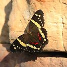 Banded Peacock Butterfly (Anartia Fatima) by hummingbirds