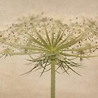 Queen Anne's Lace with Texture by AnnDixon