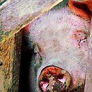Pig Sleeping by Susan Savad