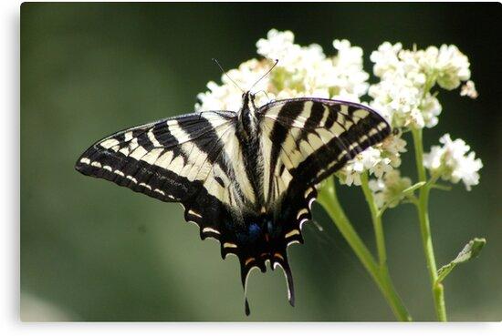 Should be Pale Swallowtail by loiteke