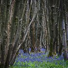 A Woodland Cathedral by Sue Purveur