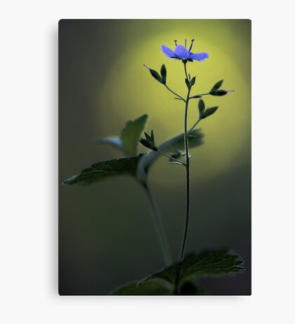Blue Speedwell - Sunset Canvas Print
