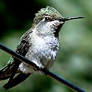 Female Ruby Throat Humming Bird at Rest by Chere Lei