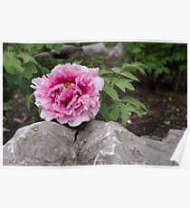 Peony on the Rocks - the Marvels of Spring Poster