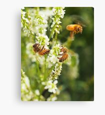 Honey Alfalfa Canvas Print