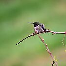Chilly Hummingbird by WalnutHill