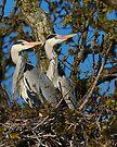 Grey Heron Pair by Neil Bygrave (NATURELENS)