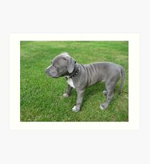 Gorgeous Baby, Blue Pit Bull Puppy Dog With Wrinkles Art Print