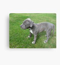 Herrliches Baby, blauer Pit Bull Puppy Dog mit Falten Metallbild