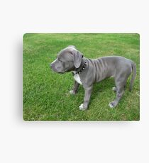 Lienzo Gorgeous Baby, Blue Pit Bull Puppy Dog con arrugas