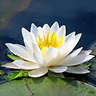 Serenity On The Lily Pond by AngieDavies