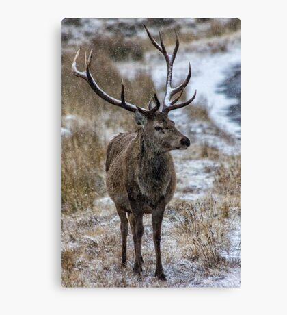 Twelve Pointed Stag in the Snow Canvas Print