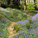 Path through the bluebells ! by widdy170