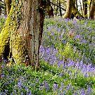 Beautiful Bluebells  by widdy170