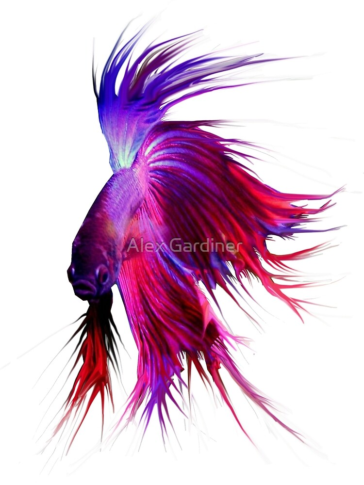 Betta Splendens ;Siamese fighting Fish by Alex Gardiner