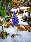 Grape Hyacinth in the Snow by FrankieCat