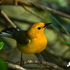 Prothonotary Warbler by TJ Baccari Photography