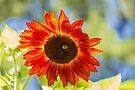 Sunflower 5 by John Velocci