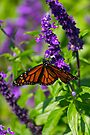 Butterfly by John Velocci